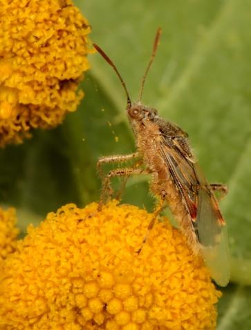 L.hyalinus