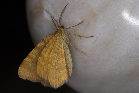 M.brunneata