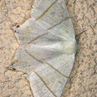 Ourapteryx sambucaria - Bodzieniec bzowiak