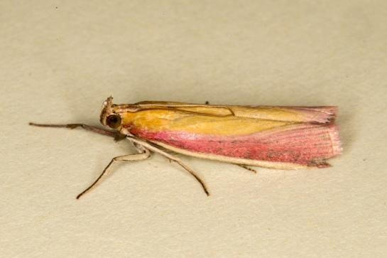 O.semirubella