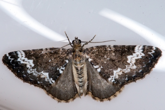 P.alchemillata