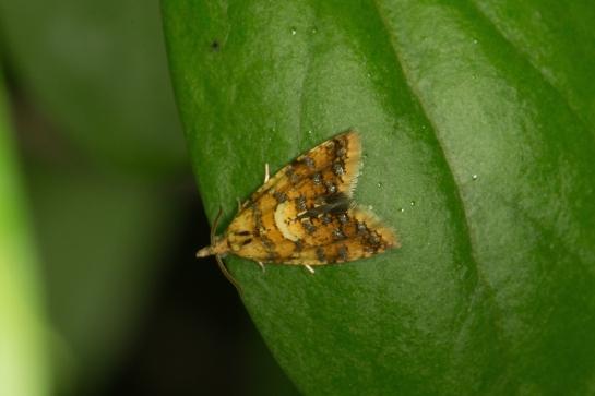 P.conwagana