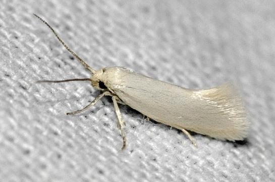 P.farinella
