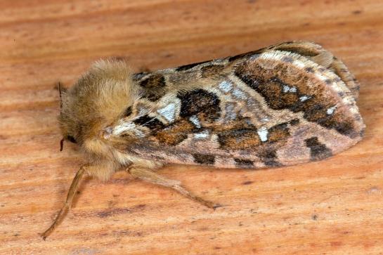 P fusconebulosa