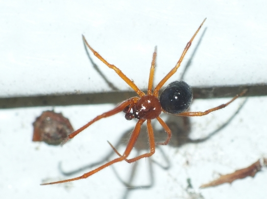 Parasteatoda male