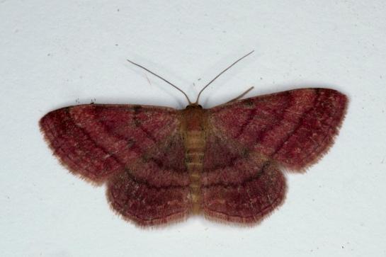 S. rubiginata