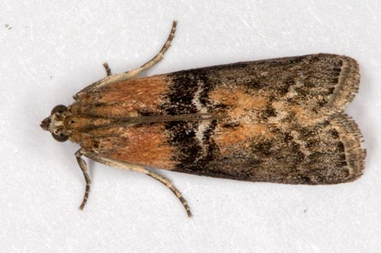 Sc. adelphella
