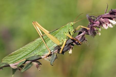 T.viridissima