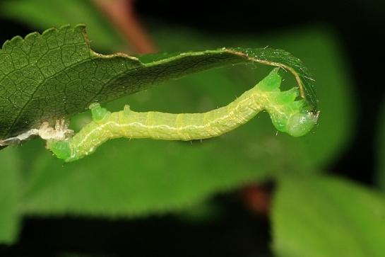A.aescularia