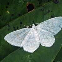 Geometridae - Miernikowcowate