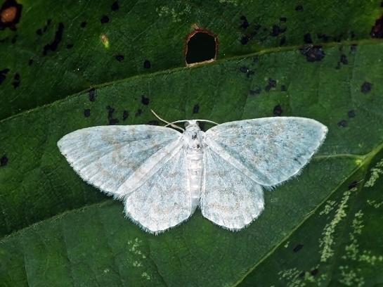 A.albulata