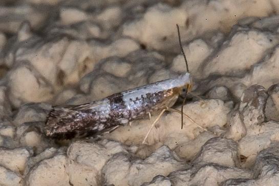 A.pruniella