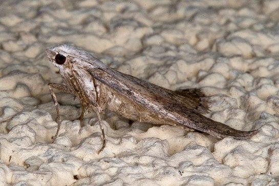 A.sociella