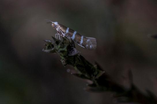 A.trifasciata