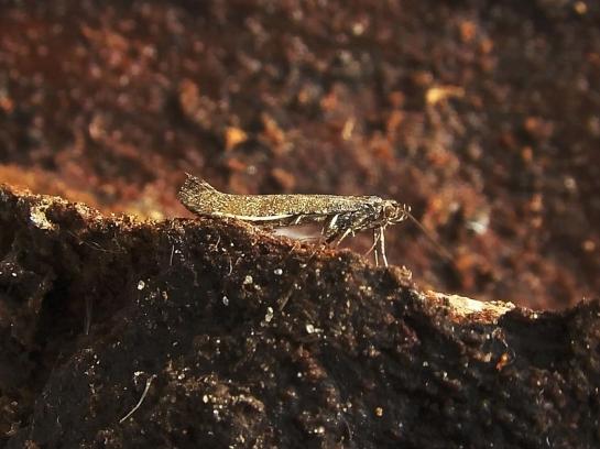 C.falconipenella