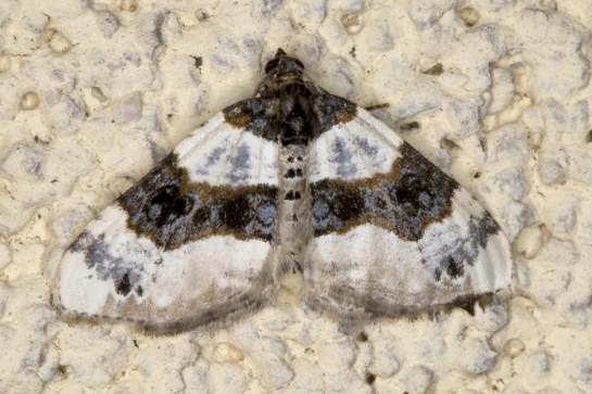 C.ocellata