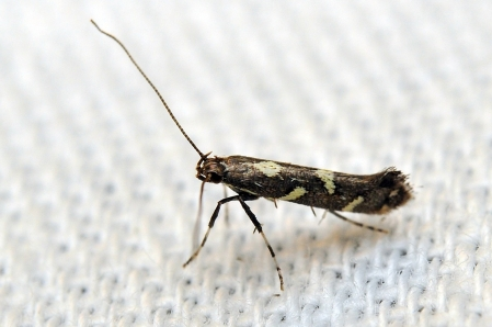 C.phasianipenella
