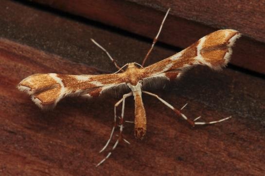 C.rhododactyla