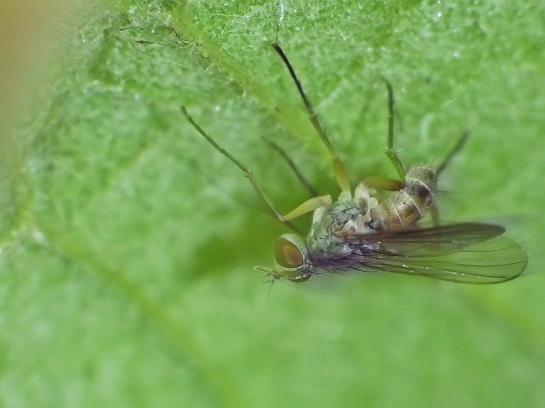 C.testacea