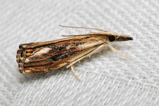 C.verella