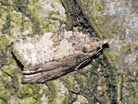 C.vulgana