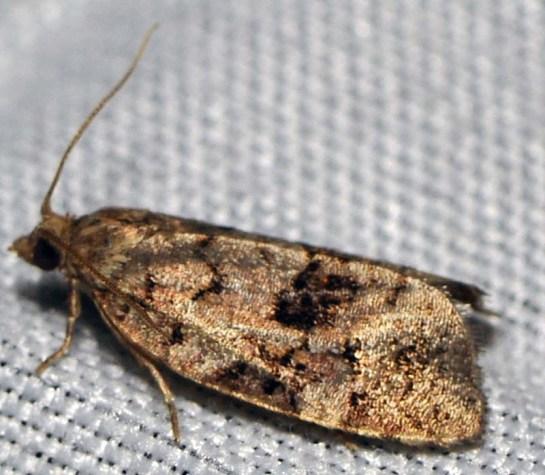 D.histrioniana