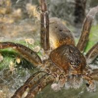 Dolomedes plantarius - Bagnik nadwodny