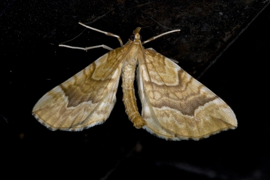E.mellinata