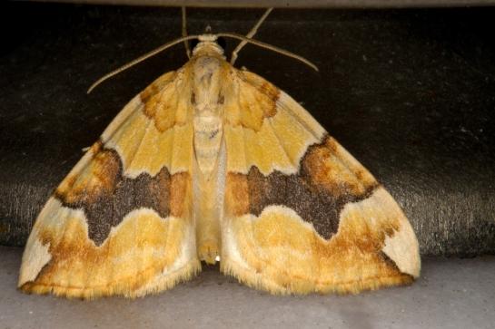 E.populata