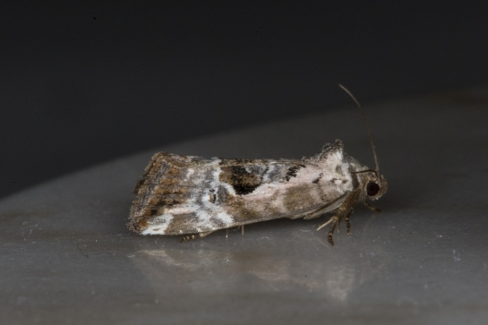 E.venustula