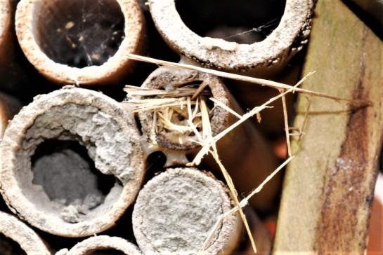 Isodontina nest