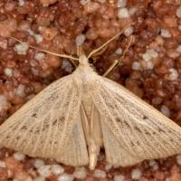 Erebidae - Mrocznicowate