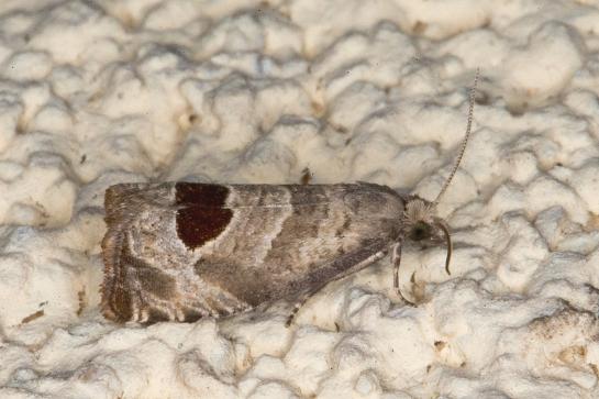 N.uddmaniana