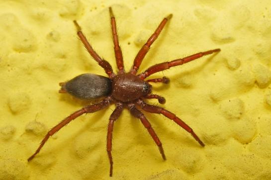 S.scutulatus