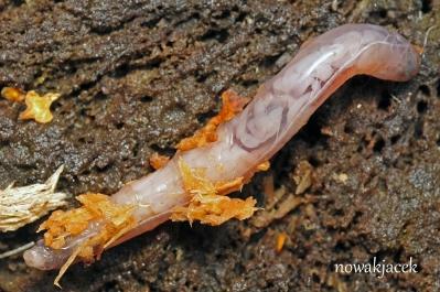 Tipulidae larva