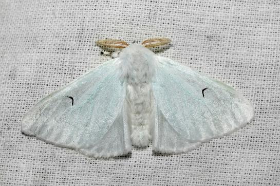 A. l-nigrum