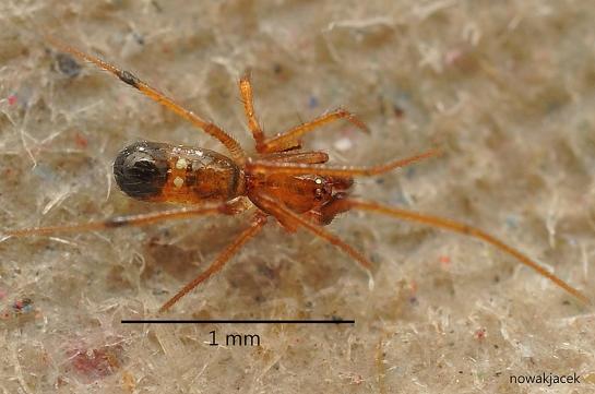 C.floridanum