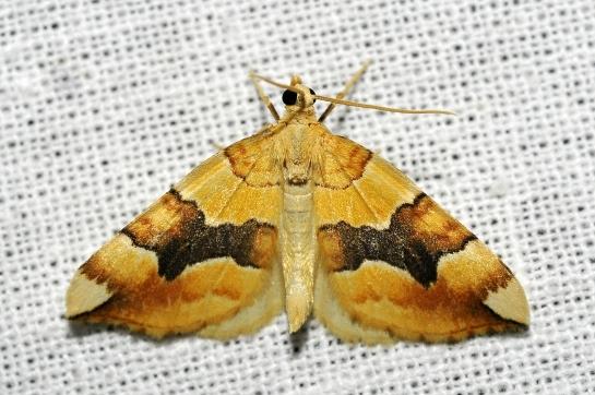 C.fulvata