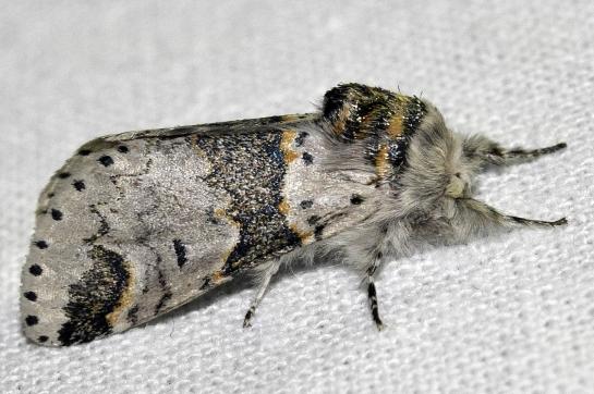 F.bicuspis.