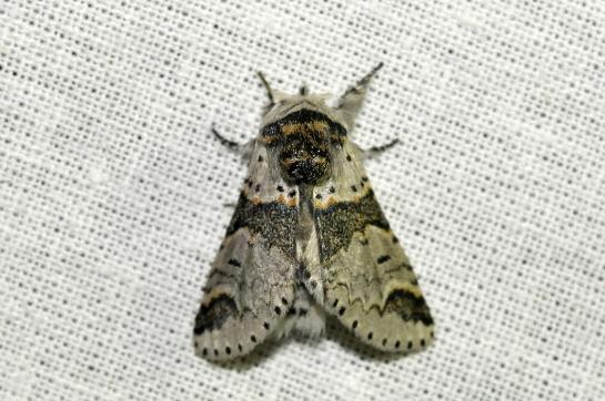 F.bicuspis