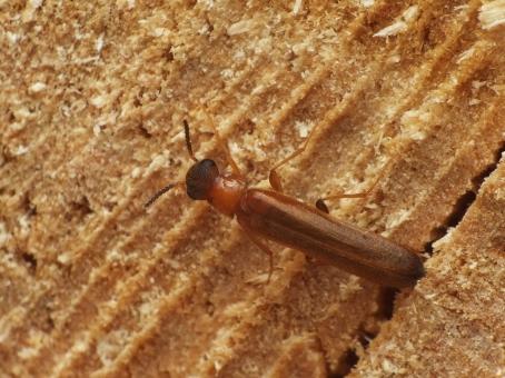 H.dermestoides