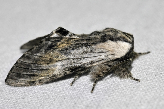 H.milhauseri