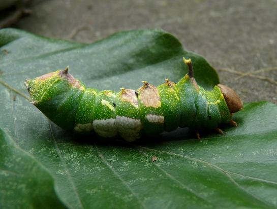 Harpyia caterpillar