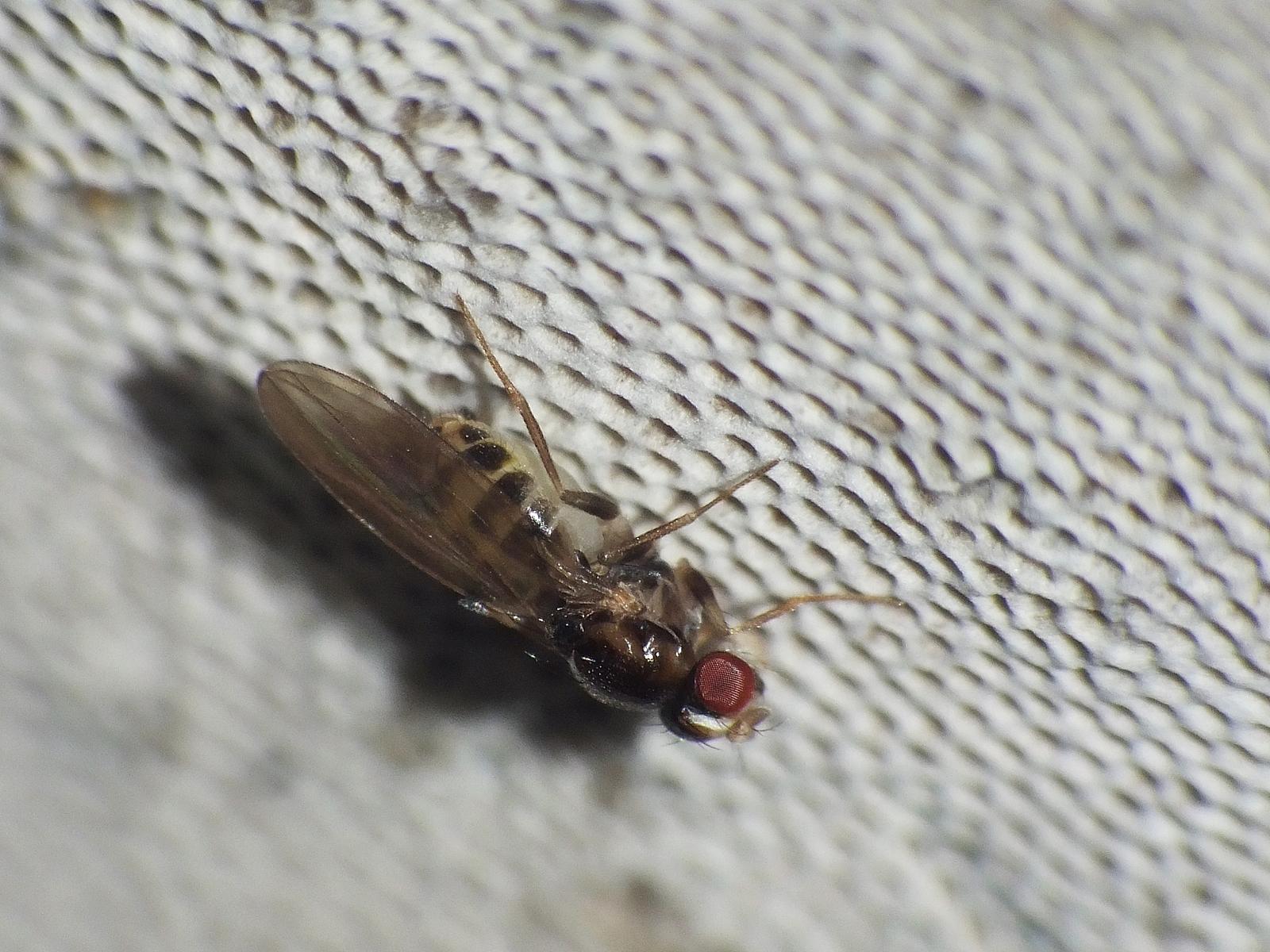 Mycodrosophila poecilogastra