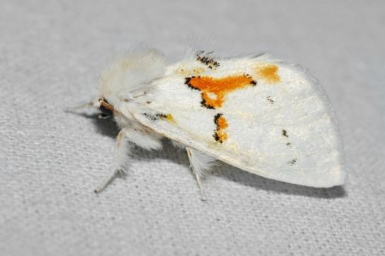 Leuc. bicoloria.