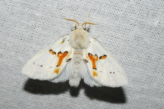 Leucod. bicoloria