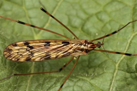 M.q-maculata