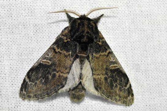 N.tritophus