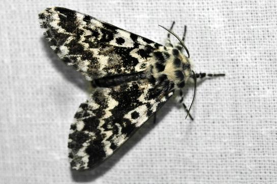 P.coenobita