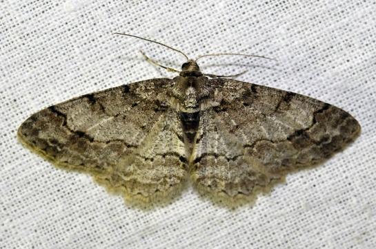 P.consonaria